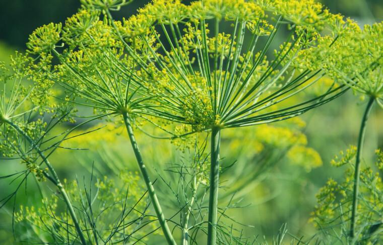 פריון הגבר – טיפול באיכות הזרע ובפוריות הגבר באמצעות צמחי מרפא